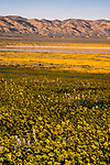 Afternoon light on a field of yellow daisies overlooking Soda Lake at the Carrizo Plain National Monument