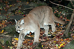 Mountain lion prowling during fall months.