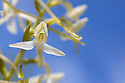 Lesser Butterfly Orchid - Platanthera bifolia