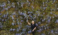 """BNPS.co.uk (01202 558833)<br /> Pic: ZacharyCulpin/BNPS<br /> <br /> Blenheim in bloom...<br /> <br /> Head Gardener Hilary with the wonderful wisteria """"The wisteria is such a beautiful plant and this particular variety with its purple blue shade is definitely one of my favourites.""""It blooms throughout May and June and careful pruning is essential""""<br /> <br /> One of Britain's most historic stately homes is expecting a bumper year for its stunning roses with some already in full bloom.<br /> <br /> Blenheim Palace, the birthplace of Sir Winston Churchill, is currently closed to visitors due to the coronavirus pandemic so this might be the only chance to see some of their stunning floral displays.<br /> <br /> With a reduced team of gardeners tending to the formal gardens and 2,000 acres of Capability Brown-landscaped parkland, there is little time for staff to stop and smell the roses.<br /> <br /> But if they could there is a spectacular climbing rose called Dreaming Spires, which grows up the walls of the Palace's orangery, that is already in full bloom and its 'wonderwall' of wisteria is also looking incredible."""