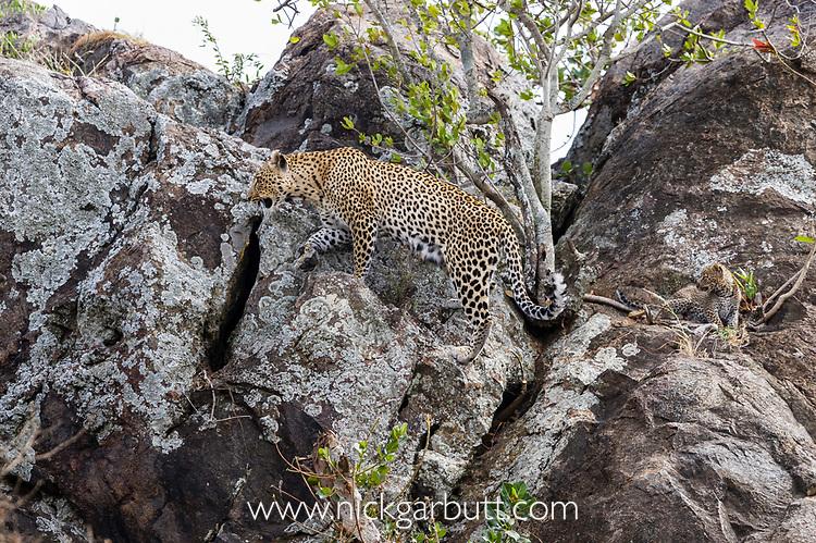 Female Leopard (Panthera pardus) with young cubs climbing over rocks / kopje. Near its den / lair. Serengeti National Park, Tanzania. April 2015