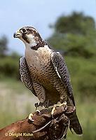 EA01-002z  Peregrine Falcon - Cornell University Breeding Facility - Falco peregrinus.