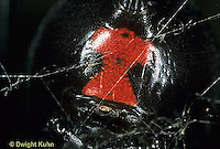 SI24-004e  Black Widow Spider hour glass on abdomen - Latrudectus mactans