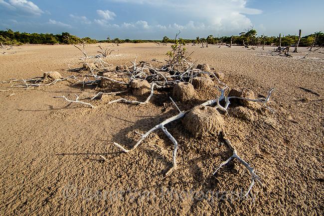 Depredated and abandoned American Flamingo (Phoenicopterus ruber) nests. Yucatan, Mexico.