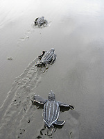 leatherback sea turtle hatchling, Dermochelys coriacea, runs to sea, Dominica, West Indies, Caribbean, Atlantic