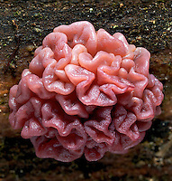 Ascotremella faginea. A jelly-like Ascopmycete fungus which can be found growing, in North America, on well-rotted American Beech (Fagus grandifolia). Hocking State Forest, Ohio, USA.