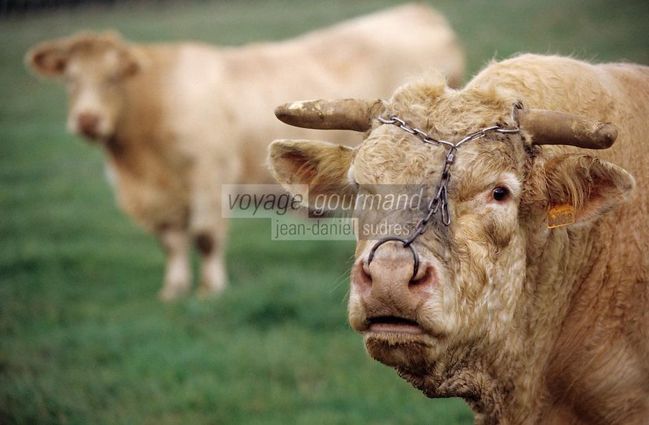 Europe/France/89/Yonne/L'Isle sur Serein: Taureau et vache élevage Charolais de Jean Louis Riotte