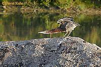 0817-06xx  Green heron - Butorides virescens © David Kuhn/Dwight Kuhn Photography
