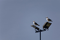 Pictured: Two seagulls on top of a street light in Barry Island. Tuesday 20 April 2020<br /> Re: Pre-election campaign in the Vale of Glamorgan, Wales, UK.