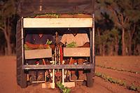 Oscar Bugno (l) and Bruno Fantin Planting Seedlings, Bugno's Farm, Dimbulah, 2003.