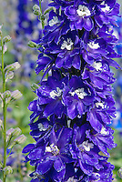 Delphinium Magic Fountains Dark Blue White Bee, seed-raised early