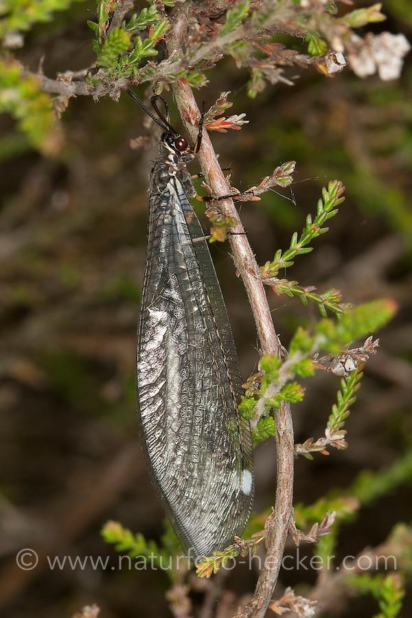 Gewöhnliche Ameisenjungfer, Myrmeleon formicarius, Antlion