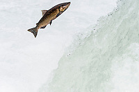 Chinook or King Salmon (Oncorhynchus tshawytscha) jumping waterfall.  Pacific Northwest.