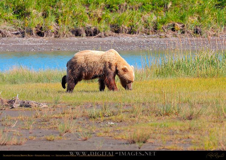 Alaskan Coastal Brown Bear, Golden Female, Silver Salmon Creek, Lake Clark National Park, Alaska