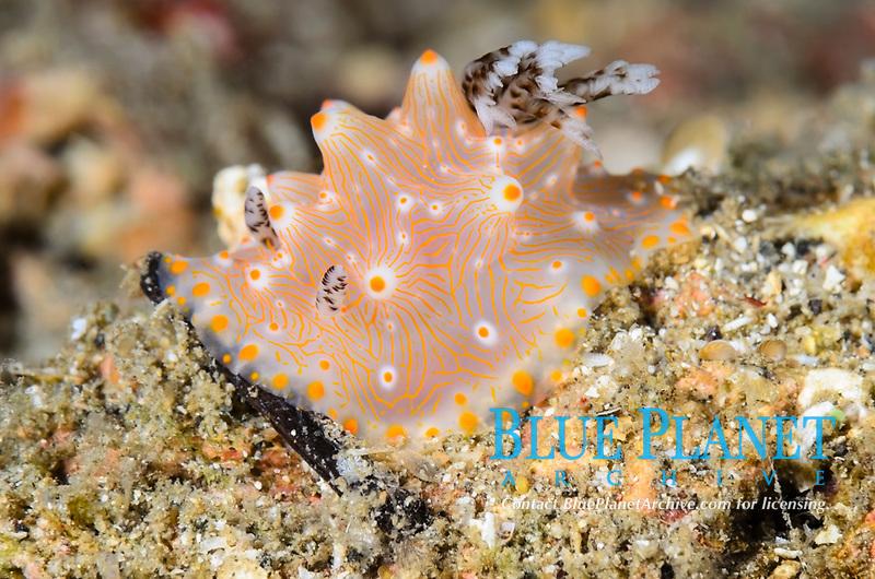 sea slug, or nudibranch, Halgerda batangas, Lembeh Strait, North Sulawesi, Indonesia, Pacific Ocean