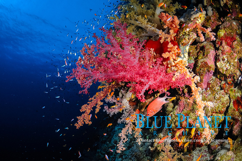 Colony of soft coral (scientific name: Dendronephthya sp.) growing on a wall of Daedalus Reef, Egypt, Red Sea.