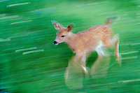 Black-tail deer fawn running, Olympic N.P., WA, July