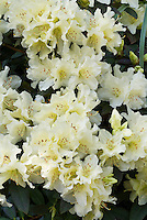 Rhododendron x 'Buzzer Beater' (H-1) Raise the Roof® pale light  yellow flowers