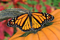 MONARCH BUTTERFLY (Danaus plexippus) on pumpkin with Red Maple leaves & ferns in background. Autumn. Nova Scotia, Canada.