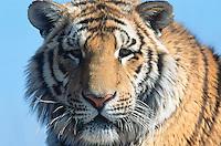 China. Province of Heilongjiang. Harbin. Siberia Tiger Park. Portrait. © 2004 Didier Ruef