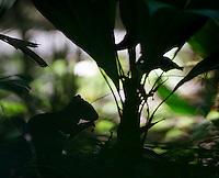An juvenile agouti hides in the shadows.