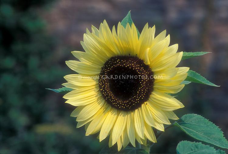 Helianthus 'Valentine' sunflower with light lemony flower