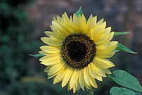 Helianthus 'Valentine' sunflower with light lemony flower