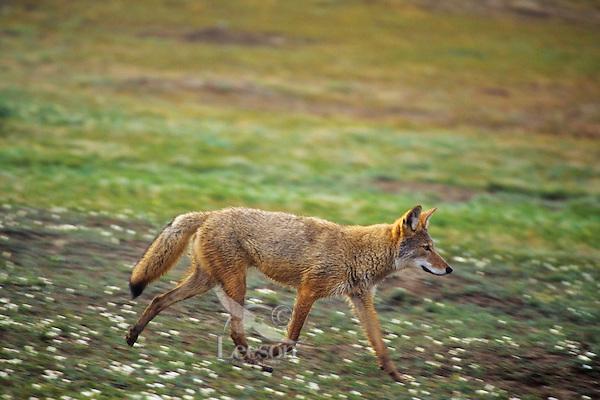 Coyote trotting through prairie dog town.  North Dakota.  Summer.