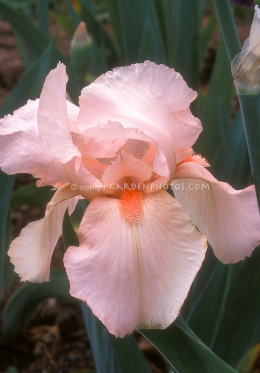 Iris September Song bearded pale pink, salmon bearded