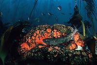 dark shyshark (catshark or cat shark), Haploblepharus pictus, on orange sponge in kelp forest, Cape of Good Hope, False Bay, South Africa