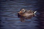 1652  Mallard Hen on pond