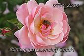 Gisela, FLOWERS, BLUMEN, FLORES, photos+++++,DTGK2514,#f#, EVERYDAY ,rose,roses