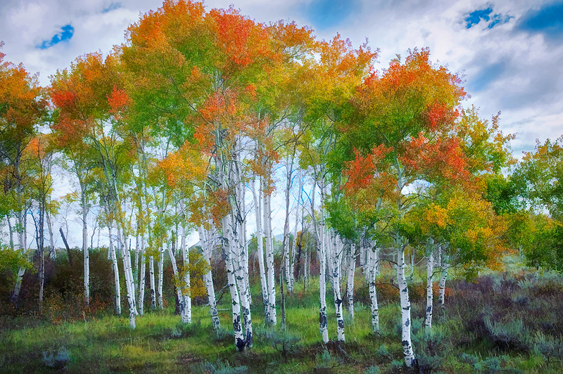 Aspens in fall color. Grand Teton National Park, Wyoming