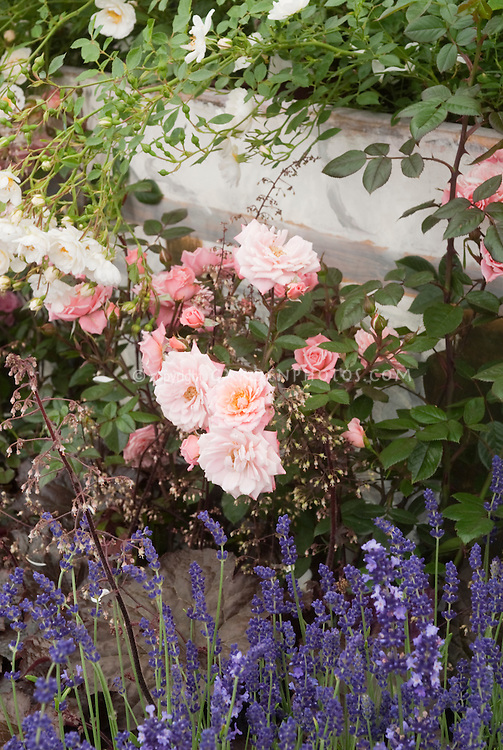 Rosa 'Nice Day' = 'Chewsea' (Climbing pink miniature roses) + Heuchera 'Palace Purple' flowers & Lavandula angustifolia 'Hidcote' growing together in garden