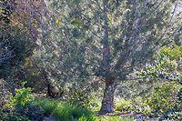 Pinus sabiniana (Gray Pine, Ghost Pine, California Foothill Pine Tree) at Leaning Pine Arboretum, California garden