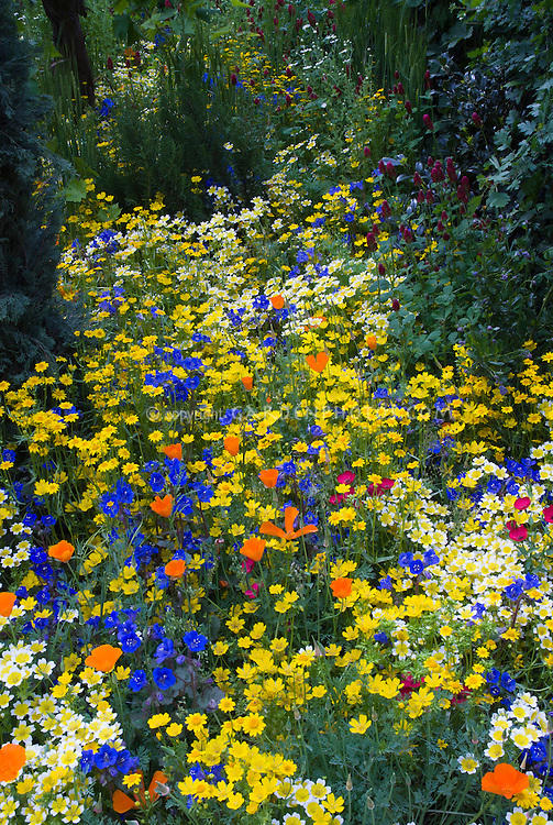 Mixed beautiful Western American native wildflowers and heirlooms in gold,yellow, orange, blue, variety of colorful blooms, Linum, poppy, Eschscholzia californica, Limnanthes douglasii, blue Phacelia campanularia, Fetzer Garden, 2007 Chelsea Flower Show