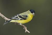 Lesser Goldfinch, Carduelis psaltria, male green-backed, Paradise, Chiricahua Mountains, Arizona, USA
