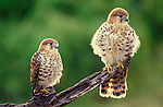 Mauritius Kestrels (Falco punctatus) - fledglings, 50-days-old. Moka Mountains, Mauritius, Indian Ocean.
