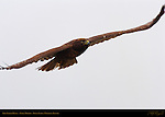 Dark Morph Red-tailed Hawk in Flight, Bolsa Chica Wildlife Refuge, Southern California