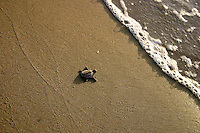 Hawksbill Turtle Hatchling makes its way to sea at Flinder's Beach, Mapoon, Cape York Peninsula