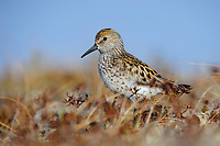 Western Sandpiper (Calidris mauri). Yukon Delta National Wildlife Refuge, Alaska. June.