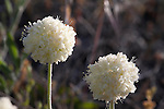 Blooming flowers of the Cushion Buckwheat plant in Montana