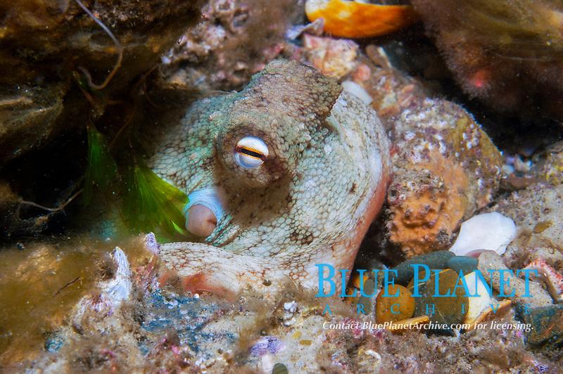 Common Sydney Octopus, Octopus tetricus, hiding in lair, The Seaway, Gold Coast, Queensland, Australia, South Pacific Ocean