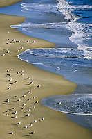 California, Santa Cruz, Cowell Beach, Gulls