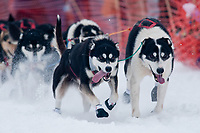 Bob Bundtzen's lead dogs at the Restart of the 2009 Iditarod in Willow, Alaska