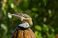 Female lesser goldfinch, Carduelis psaltria. Drinking from a backyard fountain in the Santa Cruz Mountains, California