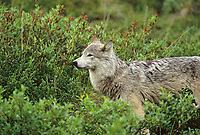 Gray wolf, Denali National Park, Alaska