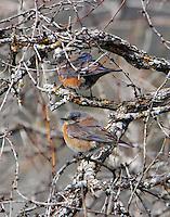 Female western bluebirds