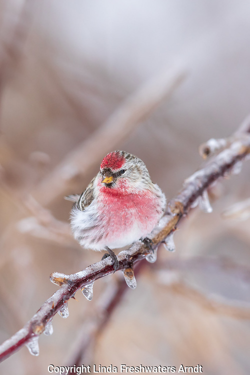 Common redpoll perched on an ice-covered bramble in northern Wisconsin.