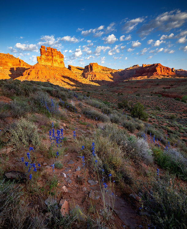 Larkspur bloom in the Valley of Gods in southern Utah, USA